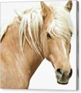 Blonde Stallion Canvas Print