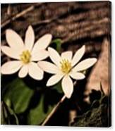 Bloodroot In Spring Canvas Print