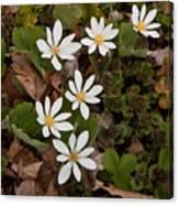 Bloodroot Wildflowers #1203 Canvas Print