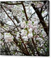 Blooming Apple Blossoms Canvas Print