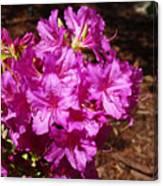 Blooming Azaleas Canvas Print