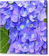 Blooming Blue Hydrangea Canvas Print