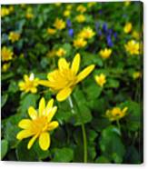 Blooming Buttercups. Canvas Print