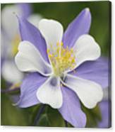 Blooming Columbine Canvas Print