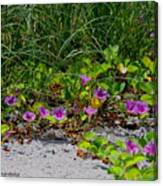 Blooming Cross Vines Along The Beach Canvas Print
