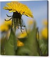 Blooming Dandelion Flower Canvas Print