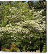 Blooming Dogwood Canvas Print