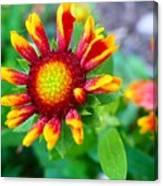 Blooming Gaillardia Canvas Print
