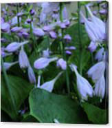 Blooming Hosta Canvas Print