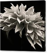 Blooming II Canvas Print