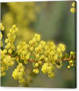 Blooming In Yellow Canvas Print
