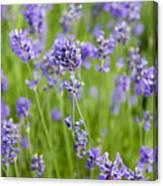 Blooming Lavendar Canvas Print