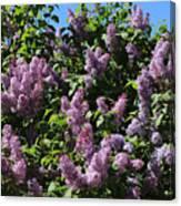 Blooming Lilacs Canvas Print