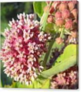 Blooming Milkweed Flowers Canvas Print
