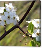 Blooming Pear Tree Canvas Print