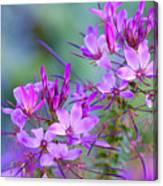 Blooming Phlox Canvas Print