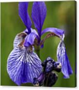Blooming Purple Iris Canvas Print