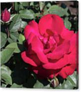 Blooming Rose With New Rose In Garden Canvas Print