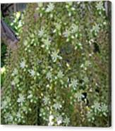 Blooming Succulent Plant. Big And Beautiful Canvas Print
