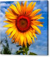 Blooming Sunflower  Canvas Print