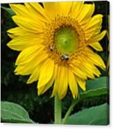 Blooming Sunflower Closeup Canvas Print