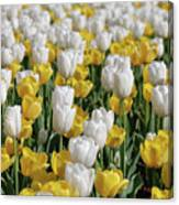 Blooming Tulips As Far As The Eye Can See Canvas Print
