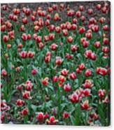 Blooming Tulips Canvas Print
