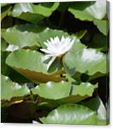 Blooming Waterlily  Canvas Print