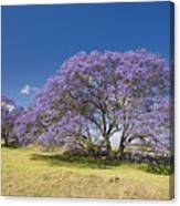 Blossoming Jacaranda Canvas Print