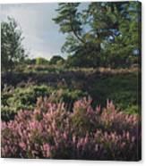 Blossoming Jutlandic Heath  Canvas Print