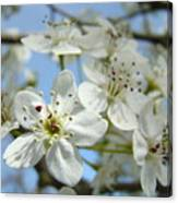 Blossoms Art Prints Whtie Spring Tree Blossoms Blue Sky Baslee Canvas Print