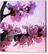 Blossoms At Sunset Canvas Print