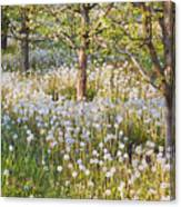 Blossoms Growing In A Fruit Orchard In Canvas Print
