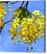 Blossoms Of The Golden Chain Tree Canvas Print