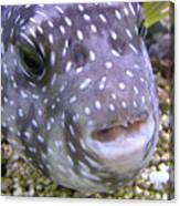Blow Fish Close-up Canvas Print