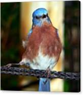 Blue And Brown Tanager Canvas Print
