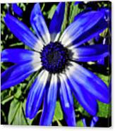 Blue And White African Daisy Canvas Print
