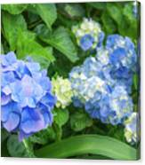 Blue And Yellow Hortensia Flowers Canvas Print