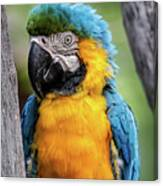 Blue And Yellow Macaw Portrait  Canvas Print