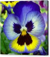 Blue And Yellow Pansy Canvas Print