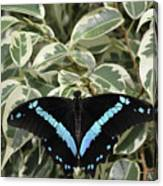 Blue-banded Swallowtail Butterfly Canvas Print