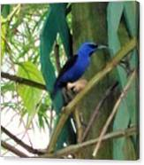 Blue Bird With A Curved Bill Canvas Print