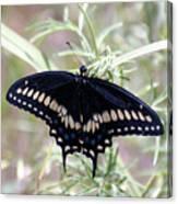 Blue Black Swallowtail Canvas Print