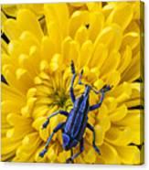 Blue Bug On Yellow Mum Canvas Print