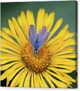 Blue Butterfly On Alpine Sunflower Canvas Print