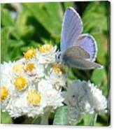 Blue Butterfly On White Flowers Canvas Print