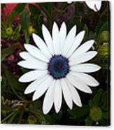 Blue Center Daisy Canvas Print