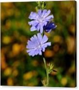 Blue Chicory 2 Canvas Print