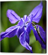 Blue Columbine Canvas Print