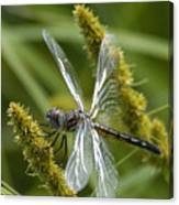 Blue Dasher Dragonfly-female Canvas Print